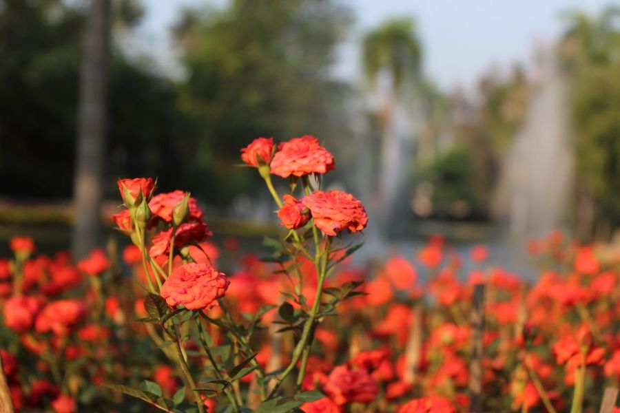 Flower Fragility Freshness Beauty In Nature Nature Growth Focus On Foreground Blooming Red Plant Day No People Close-up Flower Head Outdoors Zinnia