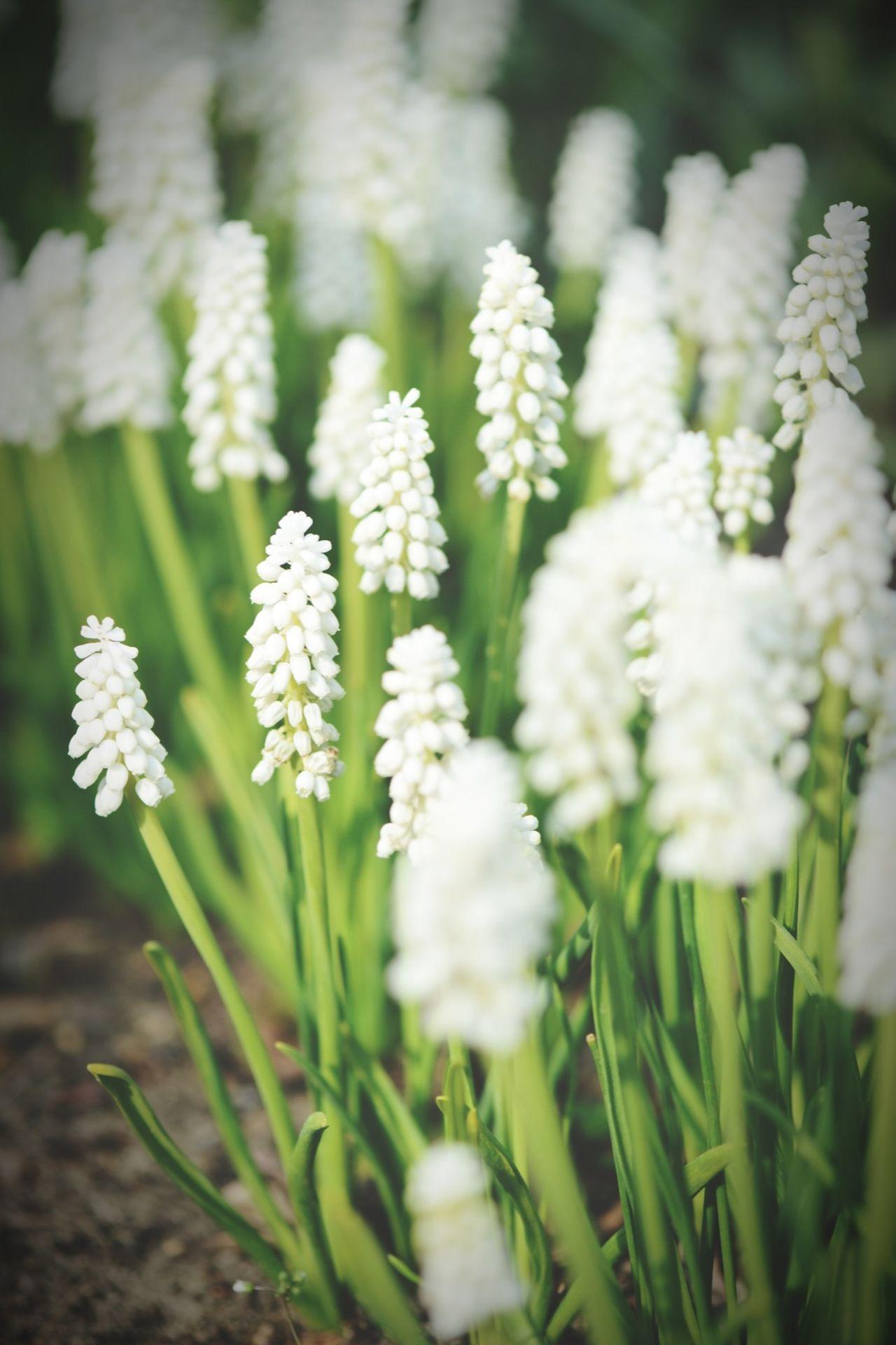 white grape hyacinth. springtime. White White Flower Grape Hyacinth Springtime Spring Flowers Hyacinth Flower Hyacinth Hyacinth,spring