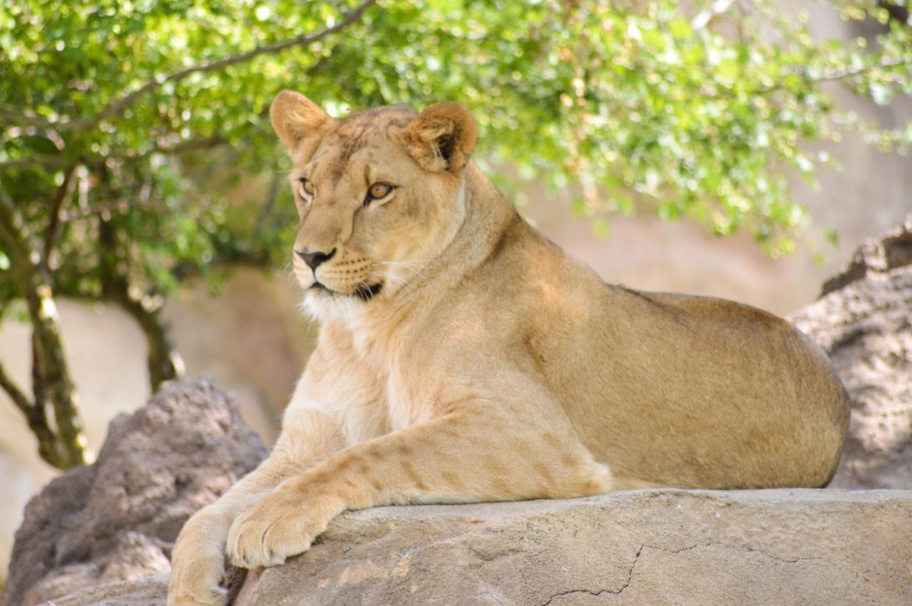 Beautiful stock photos of lion, Alertness, Animal Themes, Animals In The Wild, Day