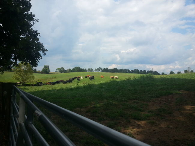 Nature Lovers United States Of America Gretna Virginia Usa Animals Country Living Farm Cows In A Field Cows Grazing Unedited David Tupponce Tupponce Photography Grass Sky