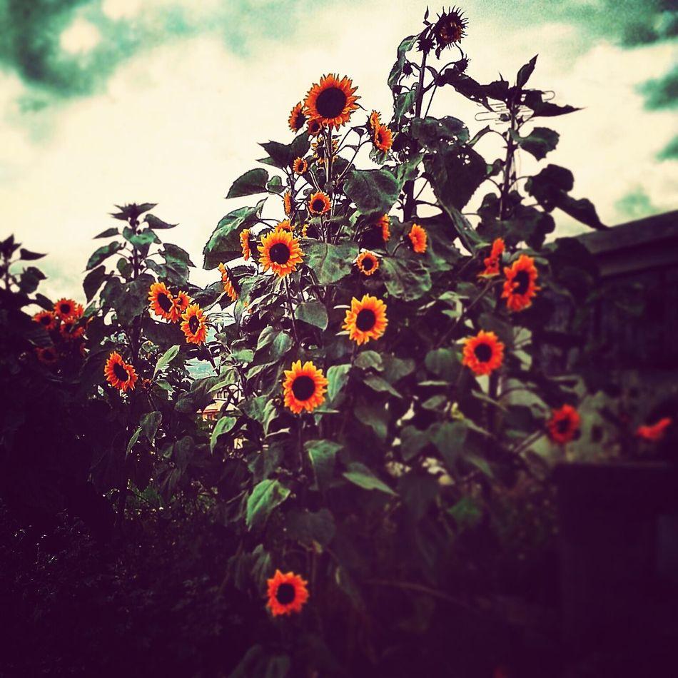Sunflowers Ambato Ecuador First Eyeem Photo Copyright©