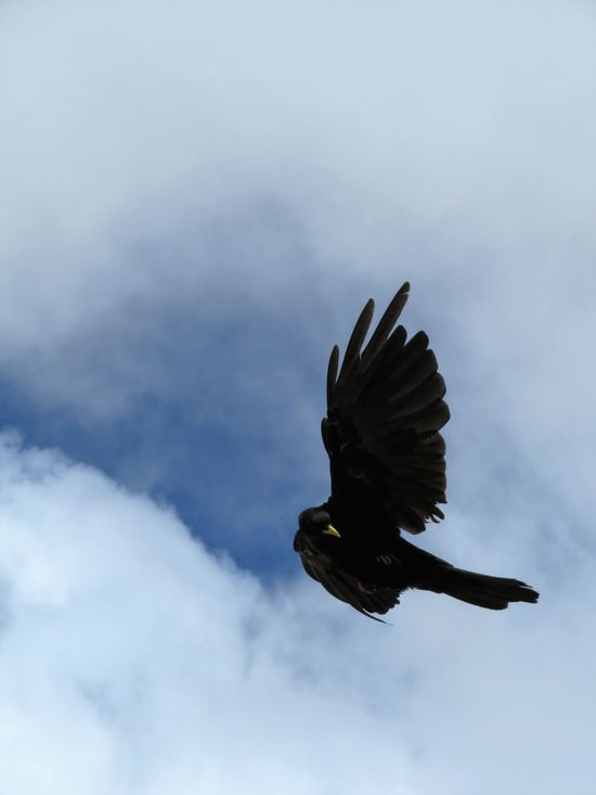 Alpine Chough Alps Animal Behavior Animal Themes Animal Wing Animals In The Wild Austria Beak Beauty In Nature Bird Cloud Feather  Flapping Flying Gesture Mid-air Nature No People One Animal Outdoors Sky Spread Wings Wave Waving Wildlife