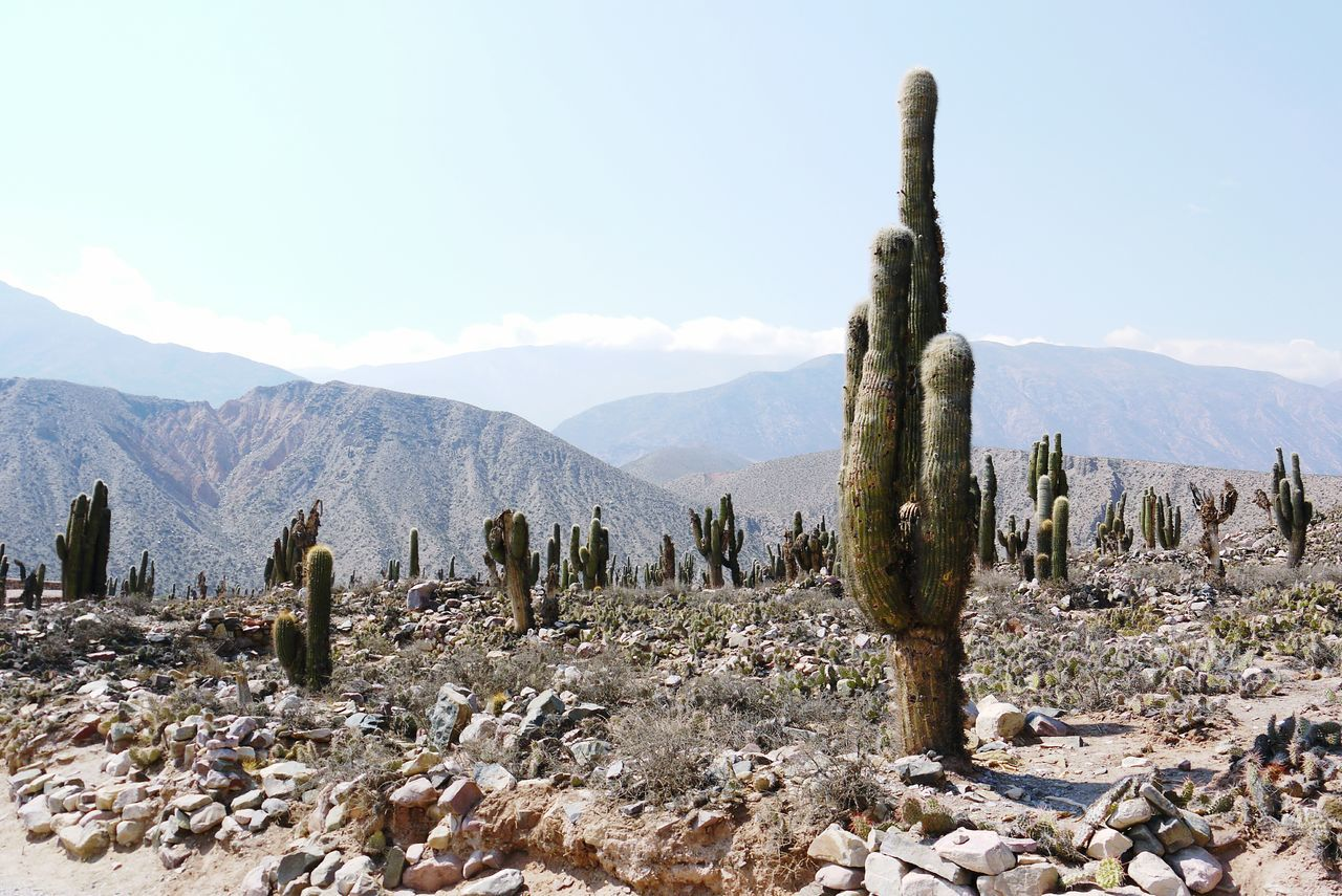 A cactus at the top of the Purcara in. Tilcara, Jujuy, Argentina. Cactus Mountain Range Plant Sky Nature Outdoors Tranquil Scene No People Saguaro Tilcara Jujuy Argentina