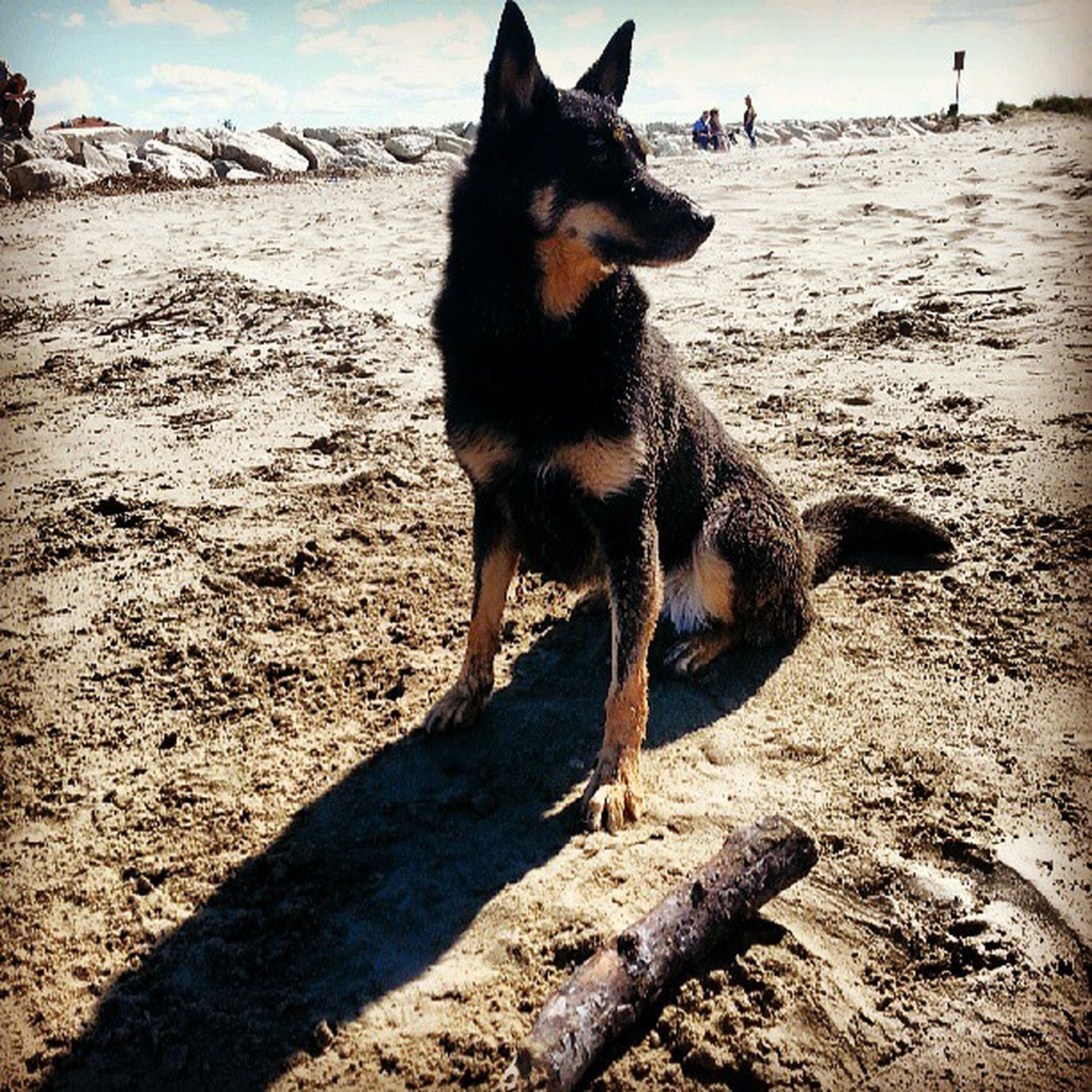 animal themes, one animal, mammal, domestic animals, beach, sand, sunlight, full length, shadow, pets, standing, nature, walking, sky, shore, day, sitting, outdoors, dog, side view