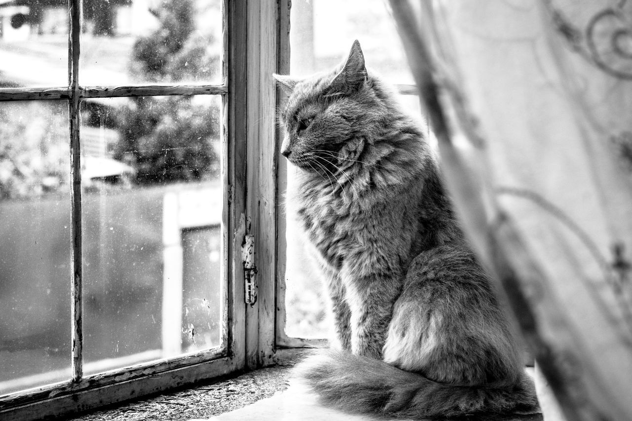 Nostalgic Cat Domestic Cat Pets Domestic Animals Window Feline Animal Themes Mammal One Animal Cat No People Sitting Indoors  Whisker Looking Through Window Day Feline Portraits Blackandwhite Indoor Nostalgia Sadness Alone