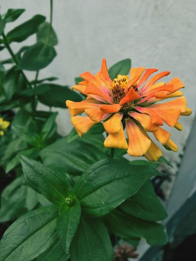 Just like a flower, you bloomed. 🌺 Flower Petal Freshness Fragility Leaf Flower Head Beauty In Nature Growth Nature Green Color Orange Color Plant Blooming No People Day Outdoors Close-up Zinnia  EyeEmNewHere
