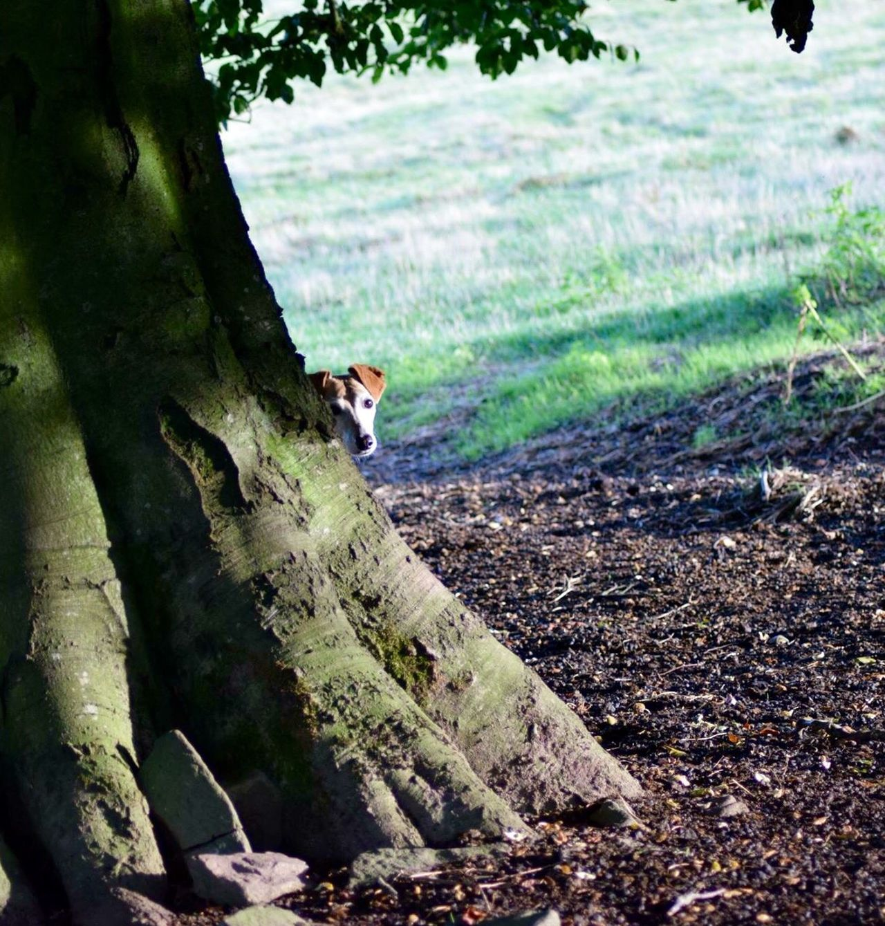 Fitz playing peek a boo Walking The Dogs Lurcher Peekaboo Dog Dogs And Trees Abergavenny Sugar Loaf Sugar Loaf Mountain