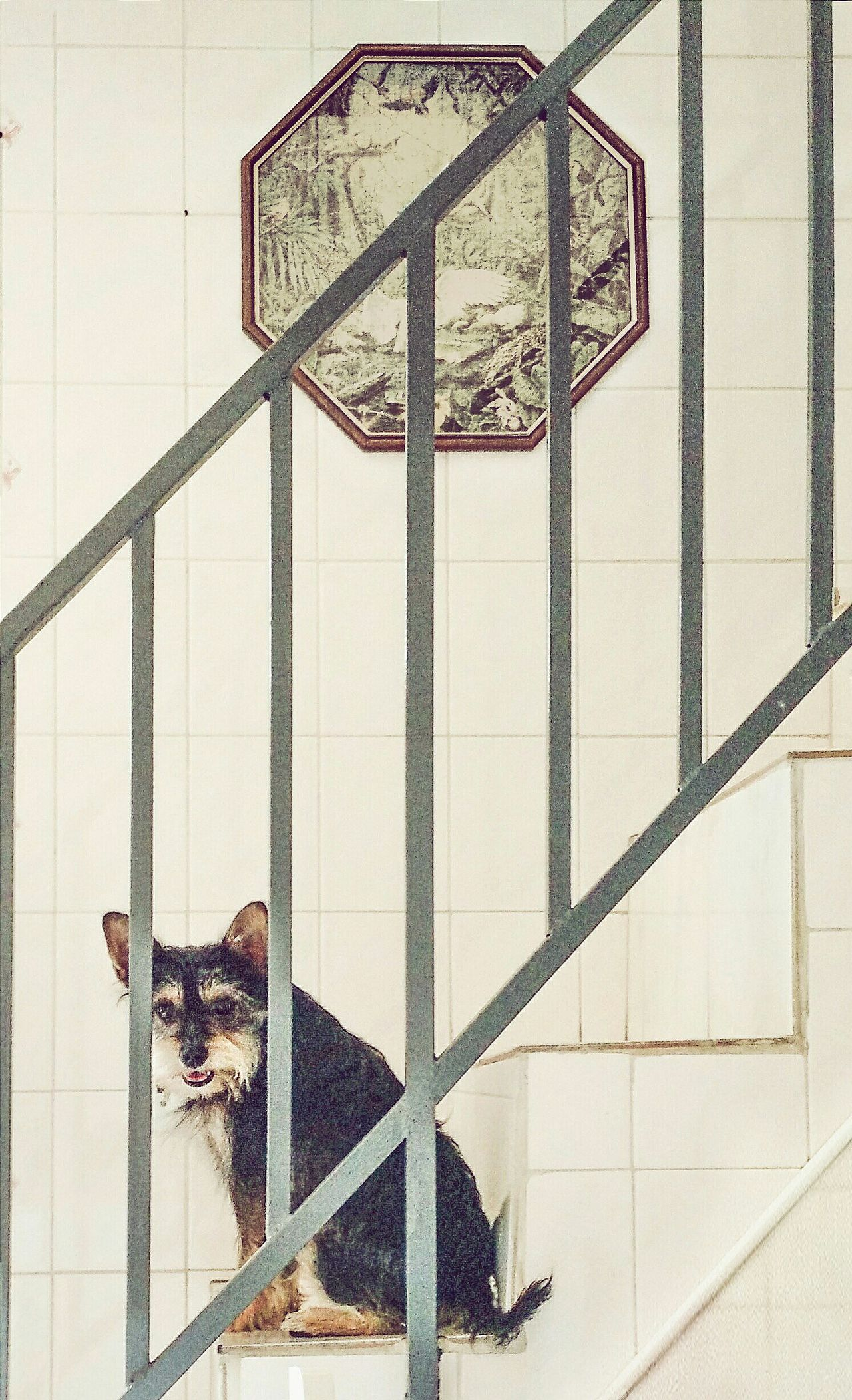 Pet Furryfriend Dog Cute Everyday Joy Jundiaí Stairs pictureonthewall