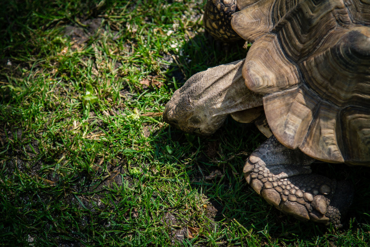Animal Shell Animal Themes Animal Wildlife Animals In The Wild Day Grass Nature No People One Animal Outdoors Reptile Tortoise Tortoise Shell Turtle