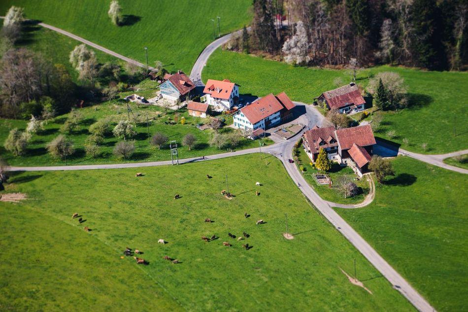 Aerial View Miniature Tiltshift Switzerland Farm Spring Cows