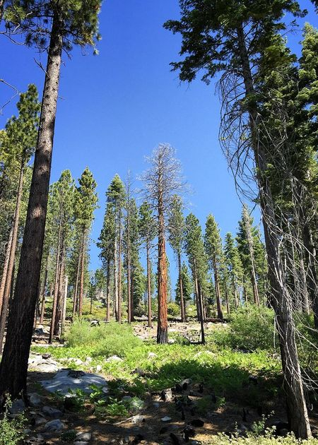 Beauty In Nature Blue Branch Clear Sky Day Green Green Color Growth Hiking Lake Tahoe, Ca Landscape Low Angle View Nature Non-urban Scene Outdoors Scenics Shadow Solitude Tall - High Tranquil Scene Tranquility Travel Destinations Tree Tree Trunk WoodLand
