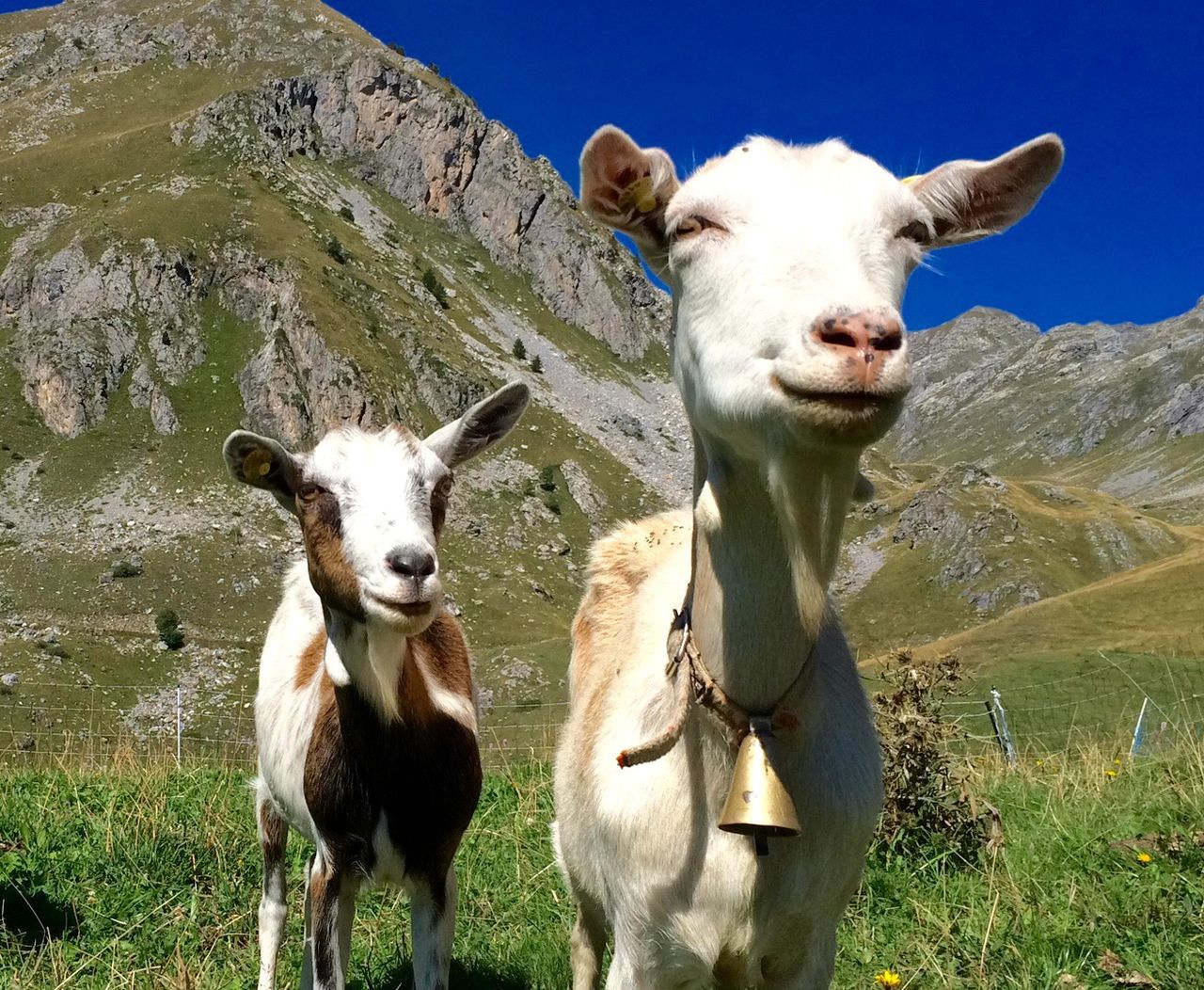 Beautiful stock photos of goat, Animal Themes, Beauty In Nature, Day, Domestic Animals
