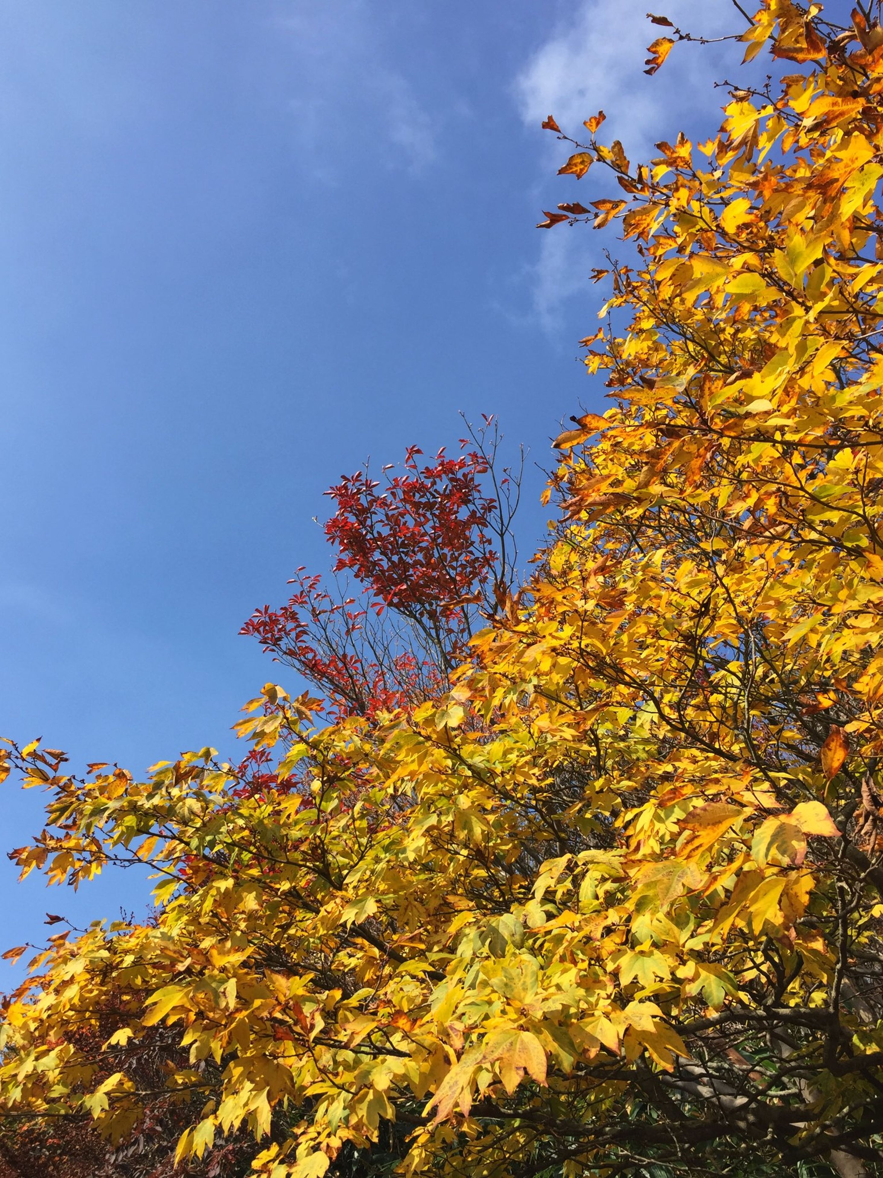 low angle view, tree, branch, growth, sky, flower, beauty in nature, nature, blue, freshness, leaf, autumn, clear sky, season, yellow, blossom, fragility, tranquility, day, change