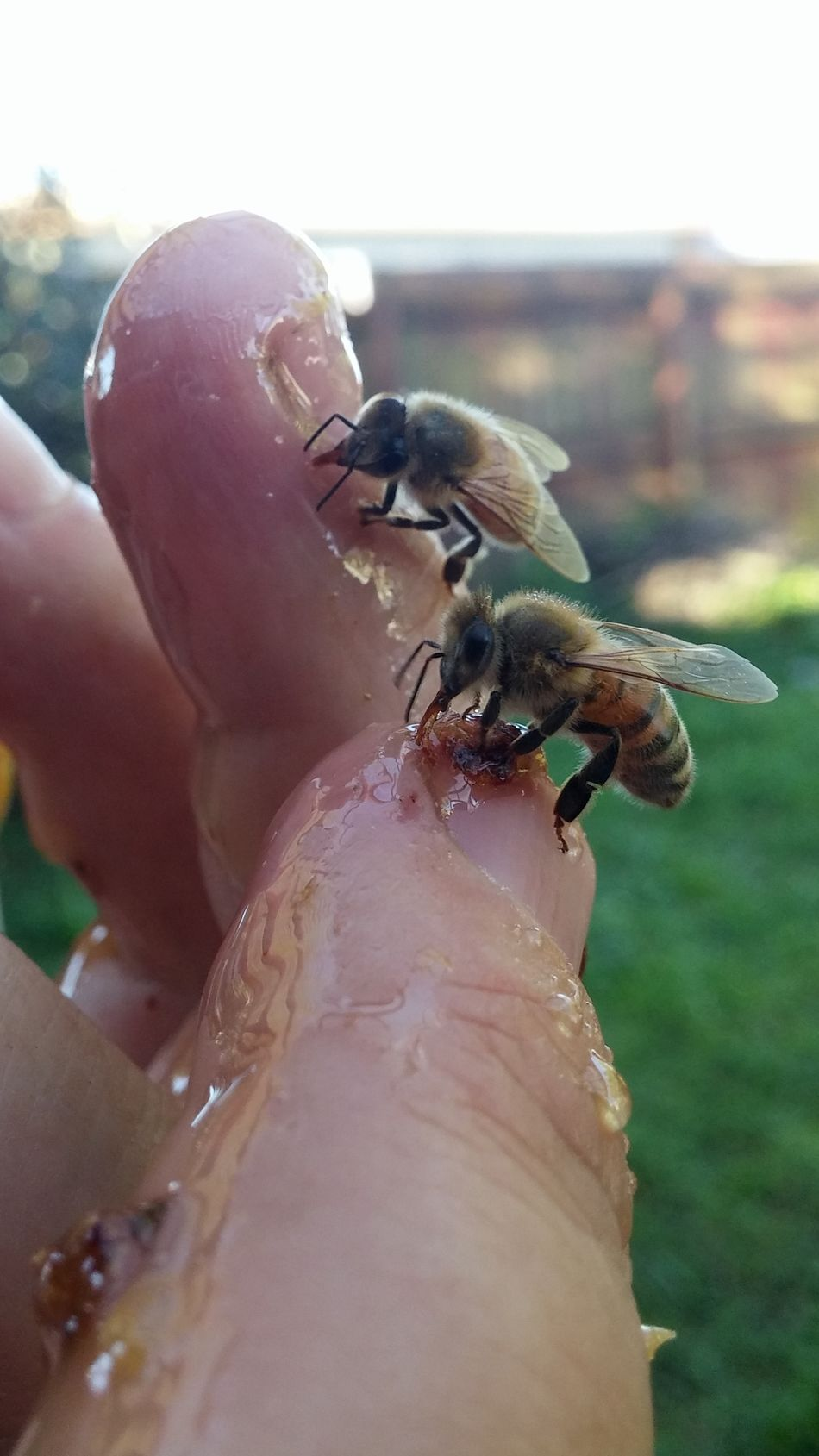 Bee watching me Insect Theme Feeding  Food Perching Yves Bees🐝 Hallo Hanging Women Who Inspire You I See You Summer NZ Style Outdoors Bee Nature Day Close-up Insect