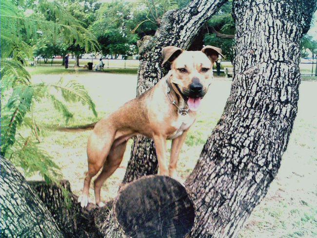 Outdoors Portraits Dog Beware Kennels Bull Dog Game Dogs Pitbulls Apbt American Pitbull Terriers