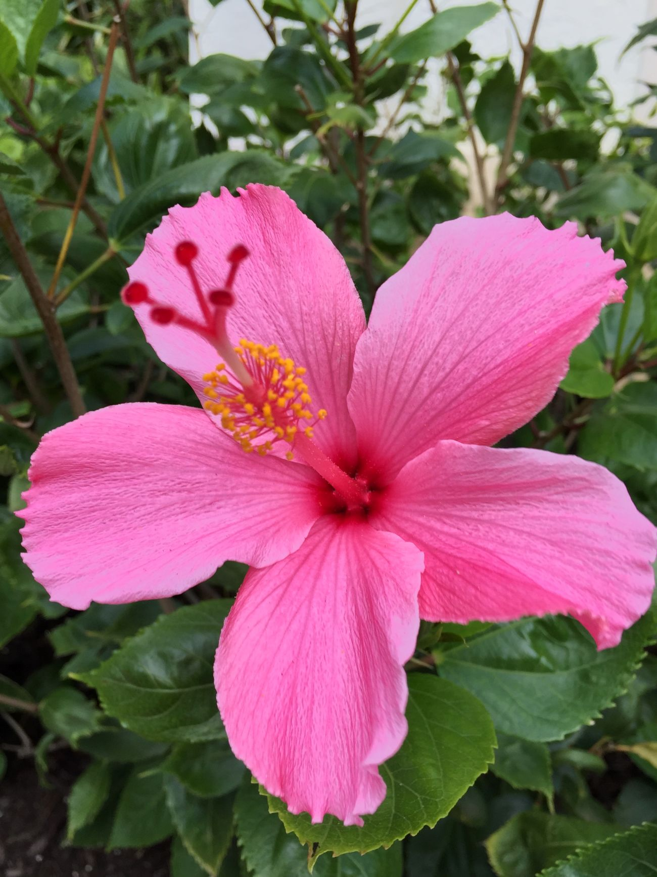 Oh Yes! Hibiscus 🌺 Tadaa Community