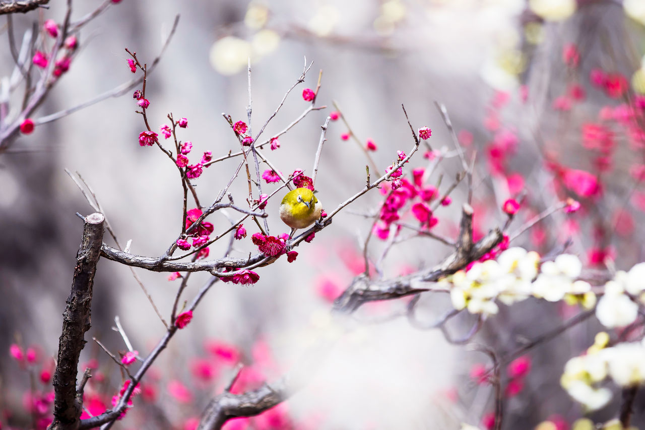 Bird White-eye Japanese White-eye Ume Blossoms  Branch Perching Canon7dMK2