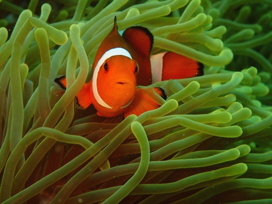 Fish Underwater Sea Life Clown Fish Nature UnderSea Sea Anemone Orange Color Coral Beauty In Nature One Animal Sea No People Close-up Water Animal Themes Deepbluesea Dive Deepsea Divestreetphotography Nemo Clownfish Nemo Fish Underthesea Underwater Photography