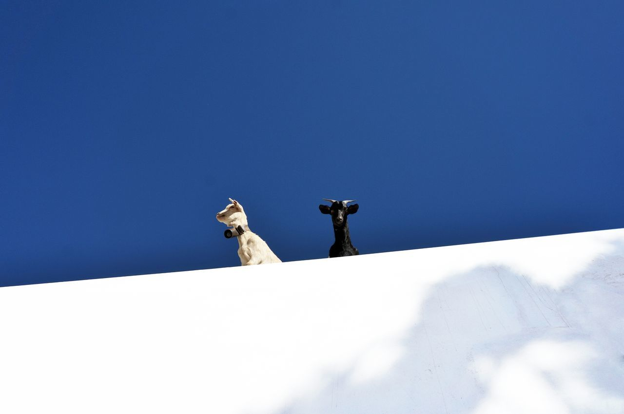 Beautiful stock photos of goat, Animal Themes, Copy Space, Day, Domestic Animals