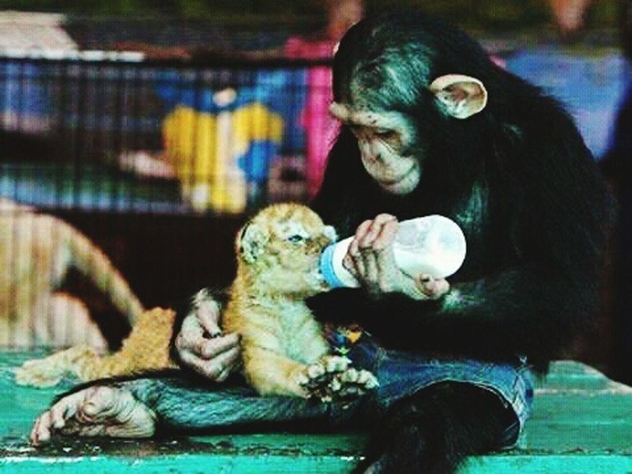 primate, animal, animal themes, animals in captivity, chimpanzee, one animal, animal wildlife, mammal, monkey, full length, ape, sitting, animals in the wild, young animal, outdoors, day, no people