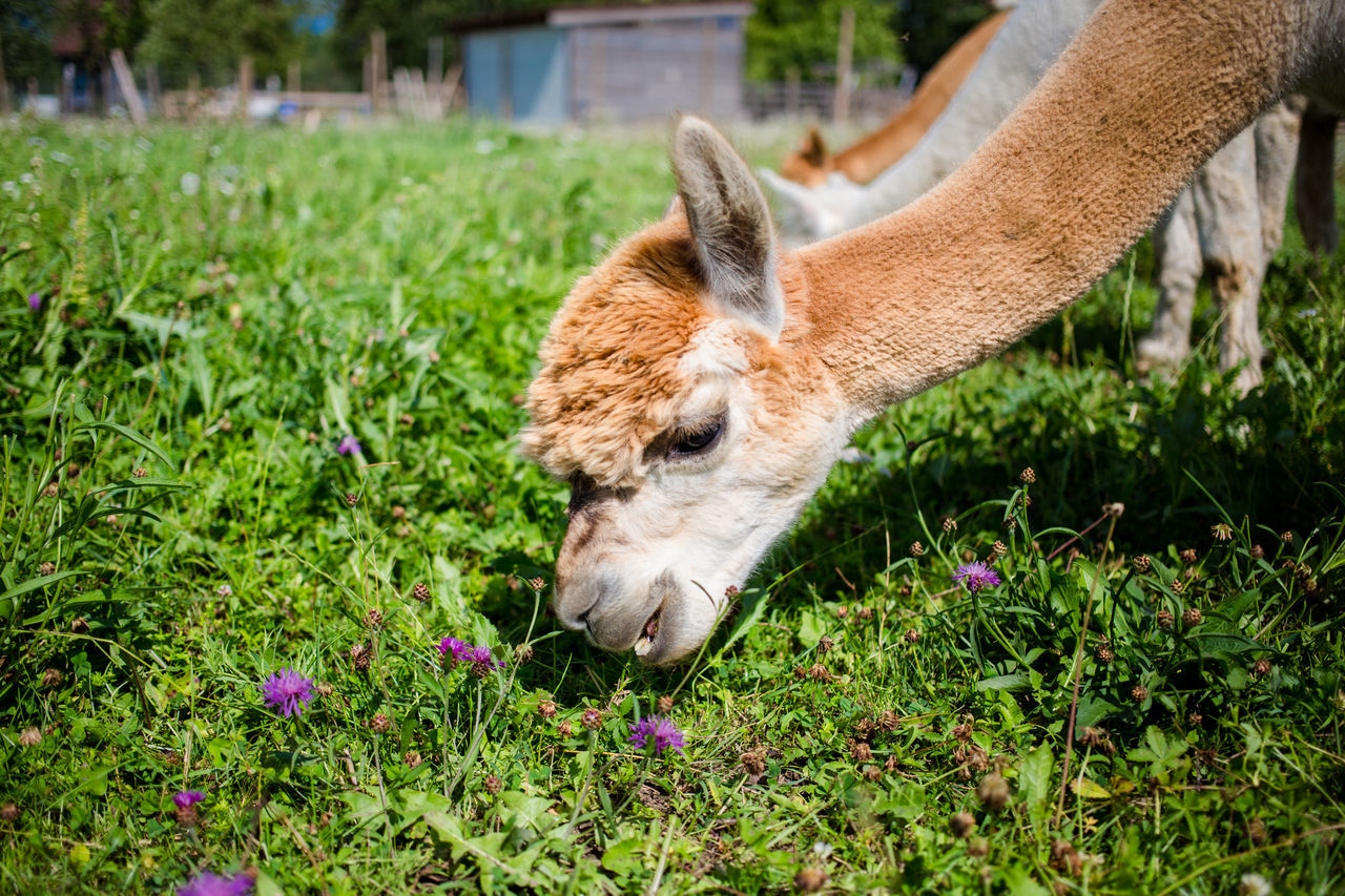 Beautiful stock photos of llama, Animal Themes, Close-Up, Day, Domestic Animals