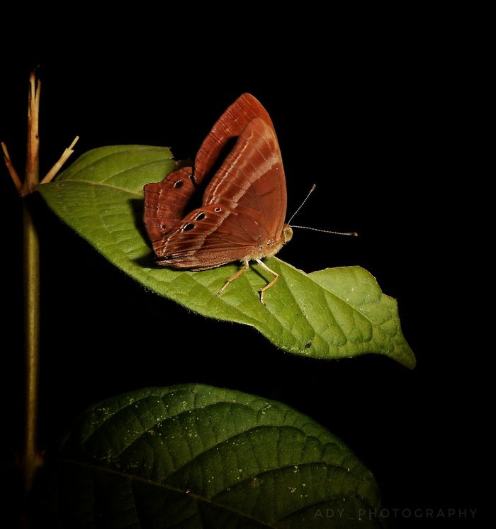 Plum Judy (butterfly) Insect Leaf Animals In The Wild Animal Themes One Animal Animal Wildlife No People Butterfly - Insect Nature Green Color Black Background Close-upFragility Butterfly Night Outdoors Freshness Perching Butterflies EyeEm Nature Lover EyeEm Diversity WeekOnEyeEm Tree Beauty In Nature WeekOnEyeEm Eyemphotography Rear View