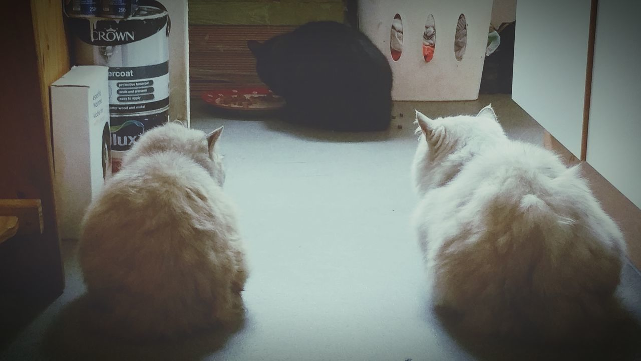 My Cats Freddie Misty Louey Eating Watching Cats lol...look at them two watching the other one eat
