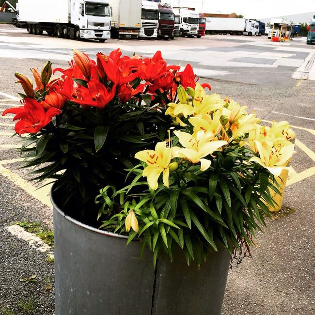 Lillies M1 Transport Cafe Junction 29 Truck Stop Flowers Trucks Lorries Red Yellow