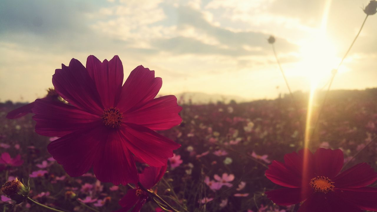 flower, petal, growth, beauty in nature, nature, fragility, plant, flower head, blooming, freshness, no people, sunset, outdoors, close-up, sky, day