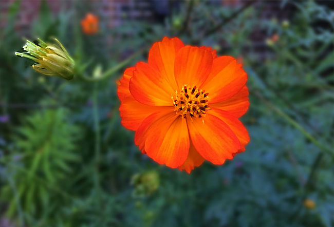 Orange flower blooming near Isham Park in New York (Manhattan) Beauty In Nature Blossom Botany Built Structure Close-up Day Early Fall Flower Flower Head Focus On Foreground Fragility Freshness Green In Bloom Late Summer, Nature Orange Color Outdoors Petal Single Flower Vibrant Color