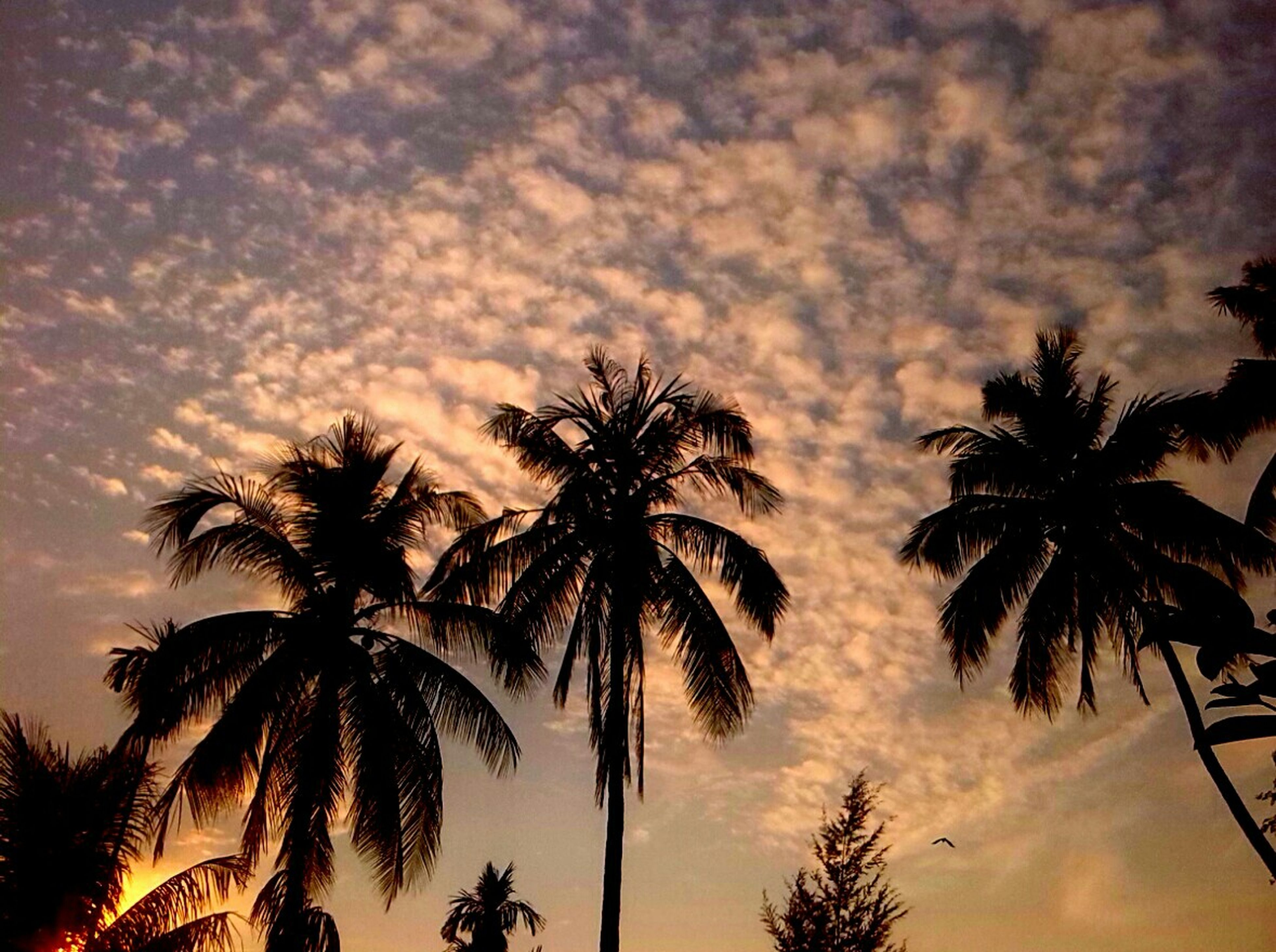 palm tree, silhouette, tree, sky, low angle view, sunset, tranquility, beauty in nature, cloud - sky, scenics, nature, growth, tranquil scene, tree trunk, coconut palm tree, cloud, dusk, cloudy, palm frond, idyllic
