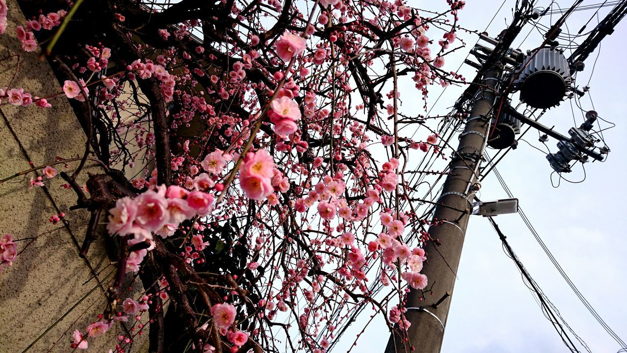 low angle view, tree, branch, flower, outdoors, cable, day, electricity, growth, no people, springtime, nature, sky, fragility