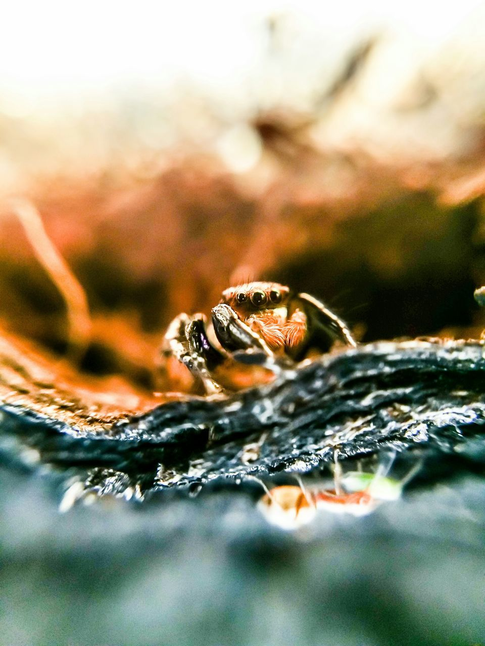 selective focus, one animal, close-up, animal themes, animals in the wild, spider, no people, nature, jumping spider, day, outdoors, animal wildlife, water, beauty in nature