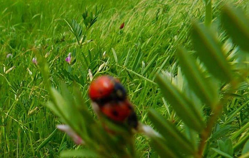 Love Bugs <3  Love Bugs Ladybugs Ladybug😊😊🐞🐞🐞 Nature_collection Ladybirds 🐞Red Bugs. Nature Photography Springtime SPRING LOVIN Bugs