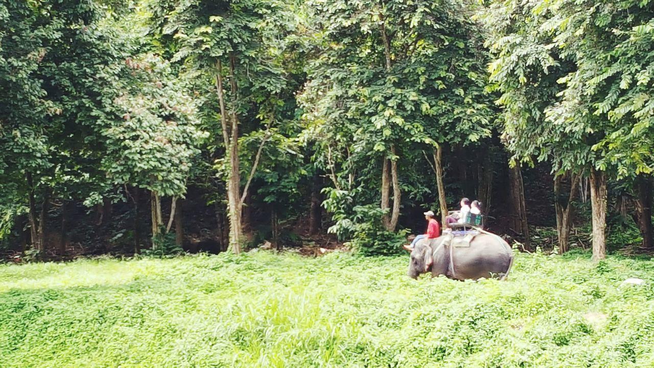 Elephant Trekking On Elephant Back On The Way Travel Asianstyle Chiang Mai | Thailand Elephant Forestwalk