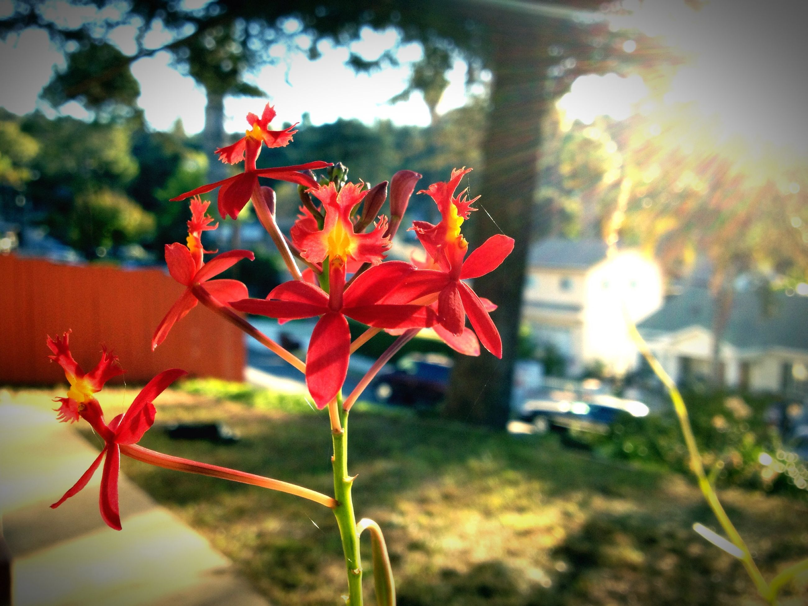 flower, petal, fragility, freshness, growth, focus on foreground, flower head, beauty in nature, red, close-up, plant, blooming, nature, stem, orange color, in bloom, sunlight, field, selective focus, blossom