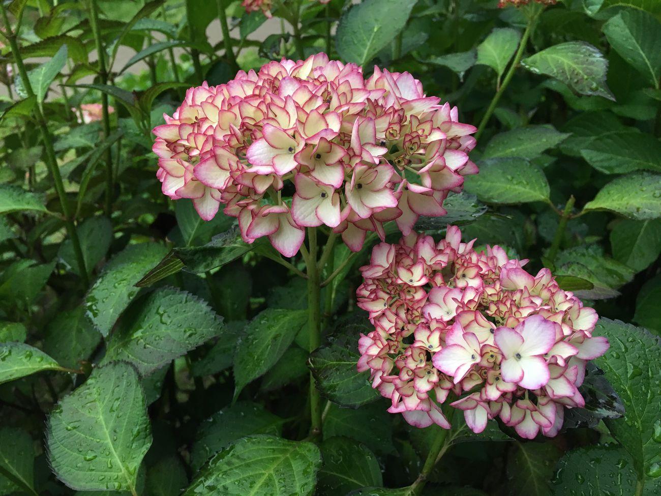紫陽花 権現堂 Flowers Beautiful Nature No Edit/no Filter