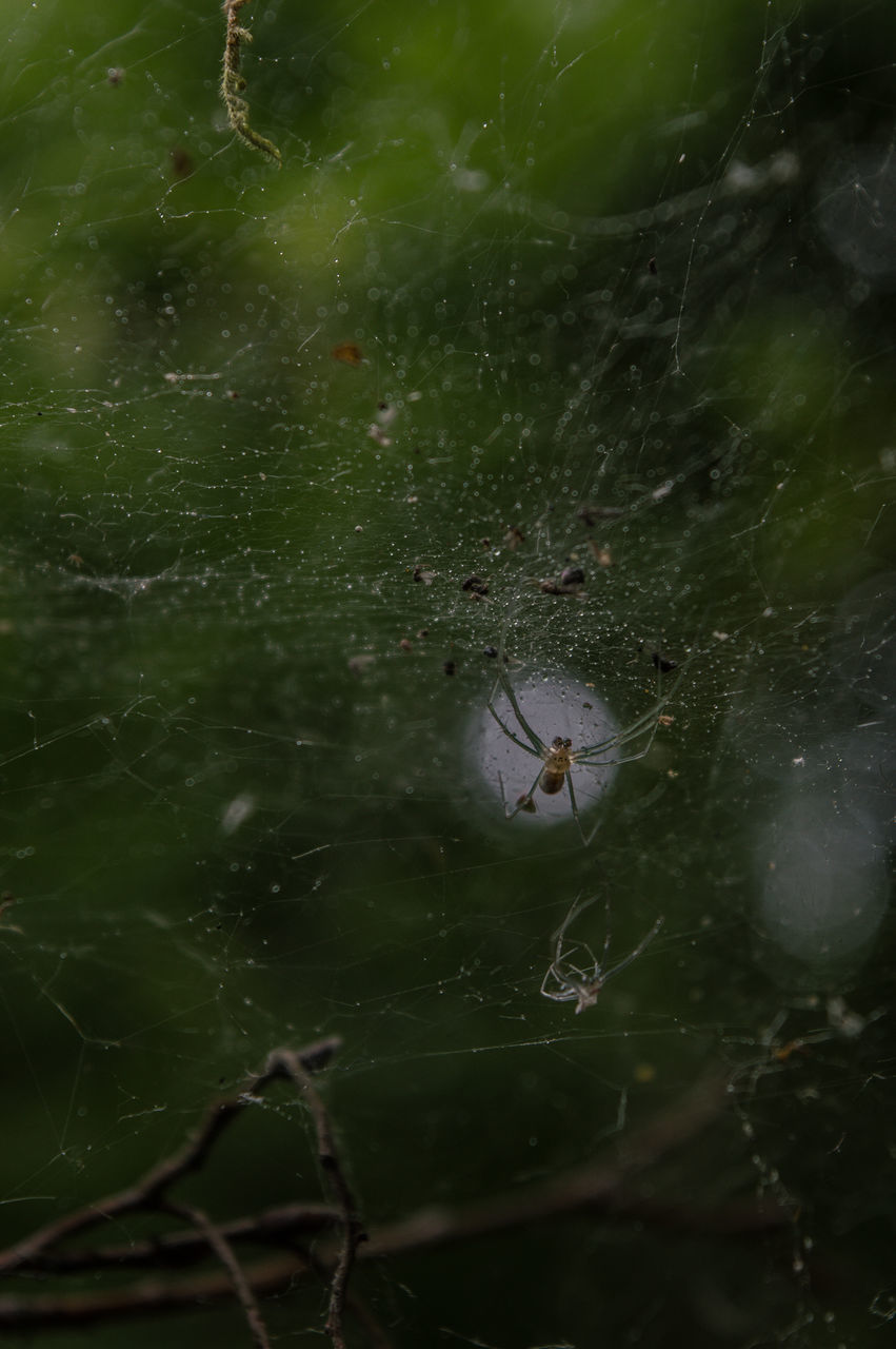 one animal, insect, animal themes, animals in the wild, spider, spider web, animal wildlife, nature, no people, close-up, web, outdoors, green color, day, mosquito, water, fragility