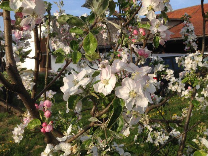 Blossoming  Blütezeit Bäume Apfelblüte
