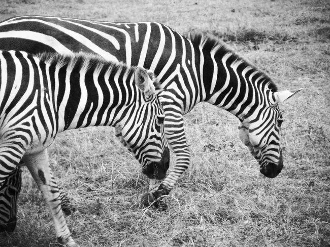Nairobi National Park, Kenya Animal Markings Animal Themes Animal Wildlife Animals In The Wild Close-up Day Field Grass Grazing Kenya Mammal National Park Nature No People Outdoors Safari Animals Striped Tourist Destination Zebra