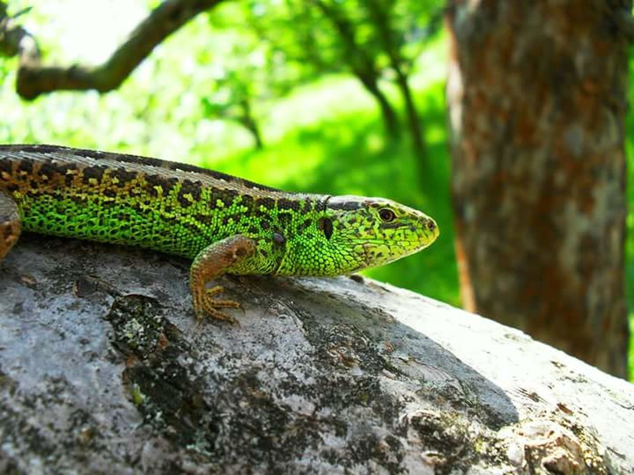 Lizard Animals Nature_collection Green Green Color Reptile Czech Nature