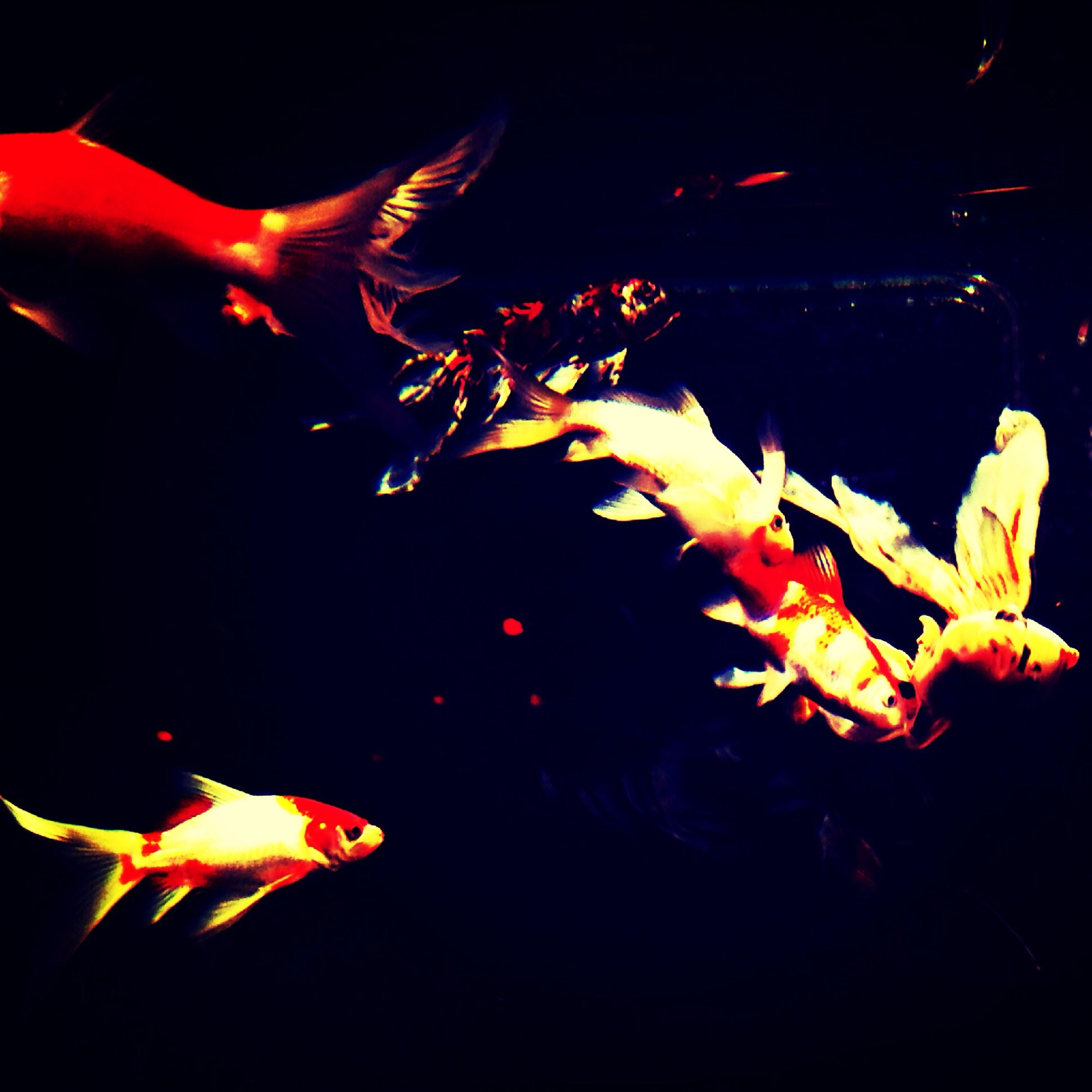 animal themes, sea life, orange color, fish, night, underwater, close-up, black background, burning, glowing, studio shot, swimming, motion, wildlife, flame, no people, fire - natural phenomenon, indoors, water, animals in the wild