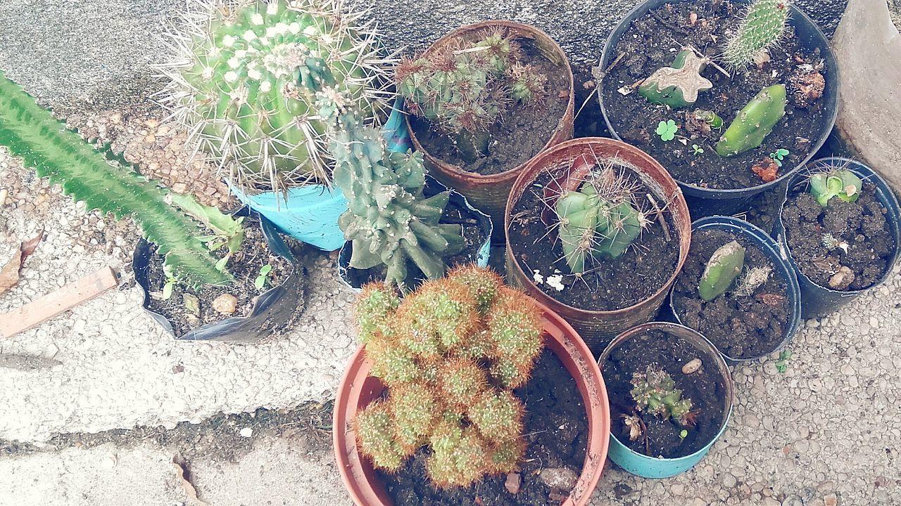 Cactus Garden Cactus Cactusclub Cactuslover Cactusplants Cactus Collection Cactuslove Cactus!:** Kaktus Captusphotography
