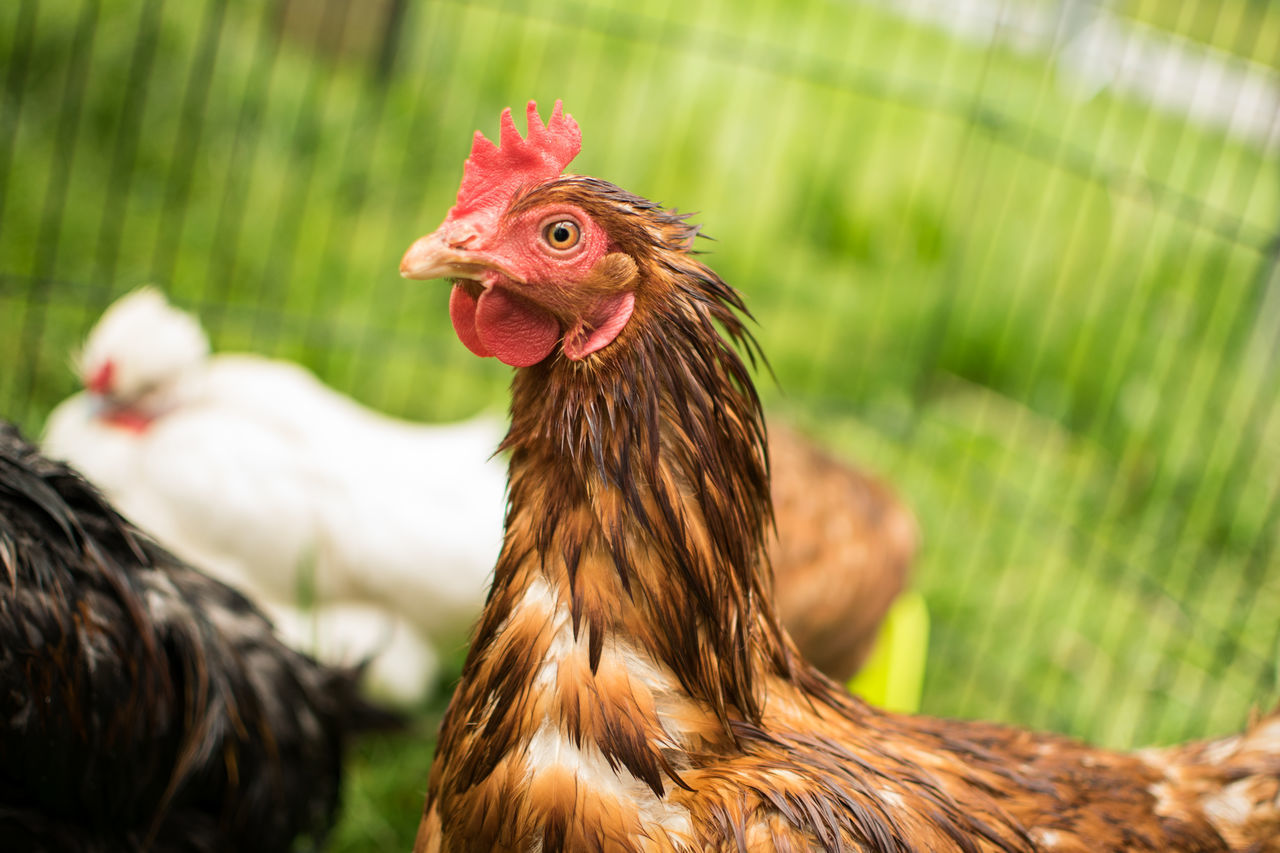 chicken - bird, livestock, rooster, domestic animals, bird, hen, cockerel, animal crest, animal themes, agriculture, poultry, farm, no people, focus on foreground, close-up, one animal, outdoors, nature, grass, field, feather, day, rural scene