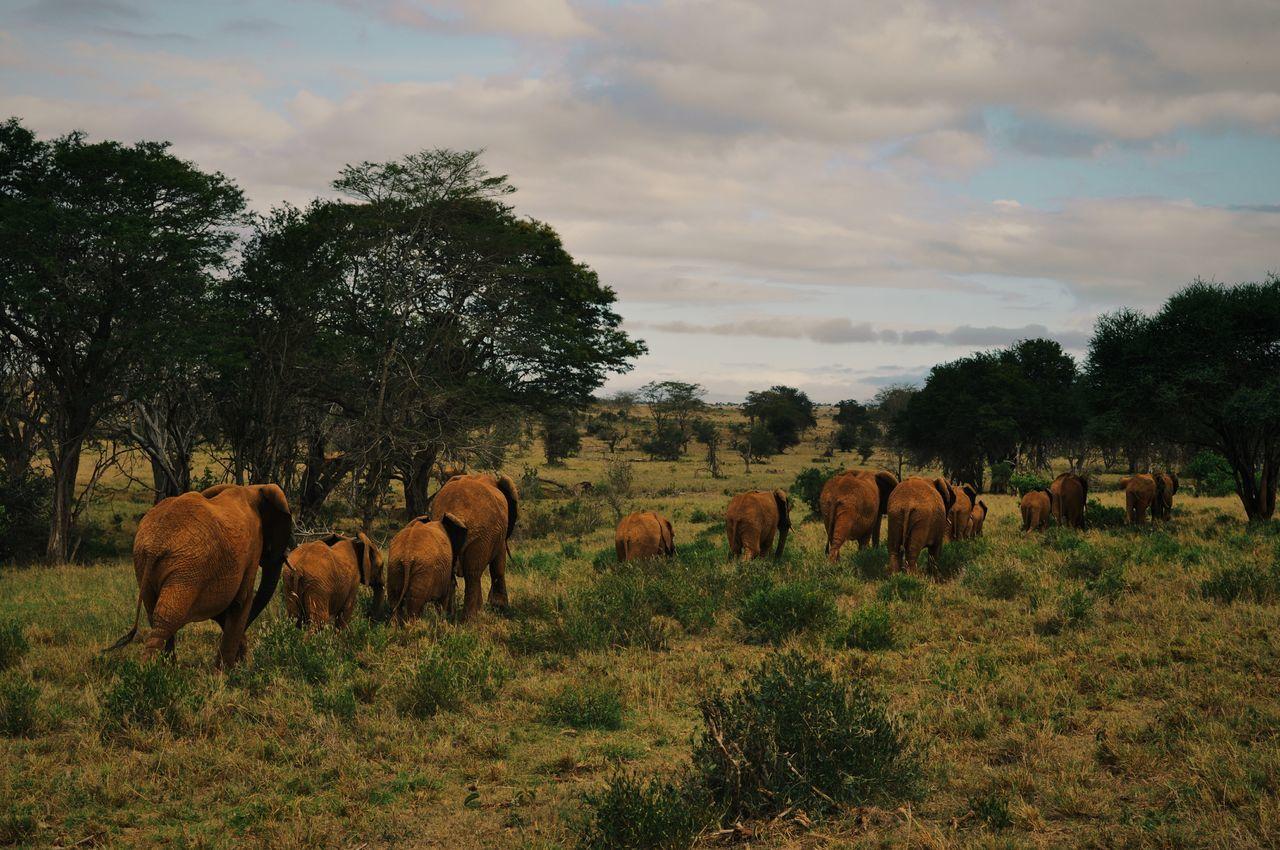 Tsavo, Kenya. Large Group Of Animals Nature Animals In The Wild Landscape Animal Wildlife Beauty In Nature Animal Themes Kenya Adventure EyeEm Best Edits AfricaAfrican Elephant Travel EyeEm Best Shots VSCO Travel Destinations Safari Tsavo
