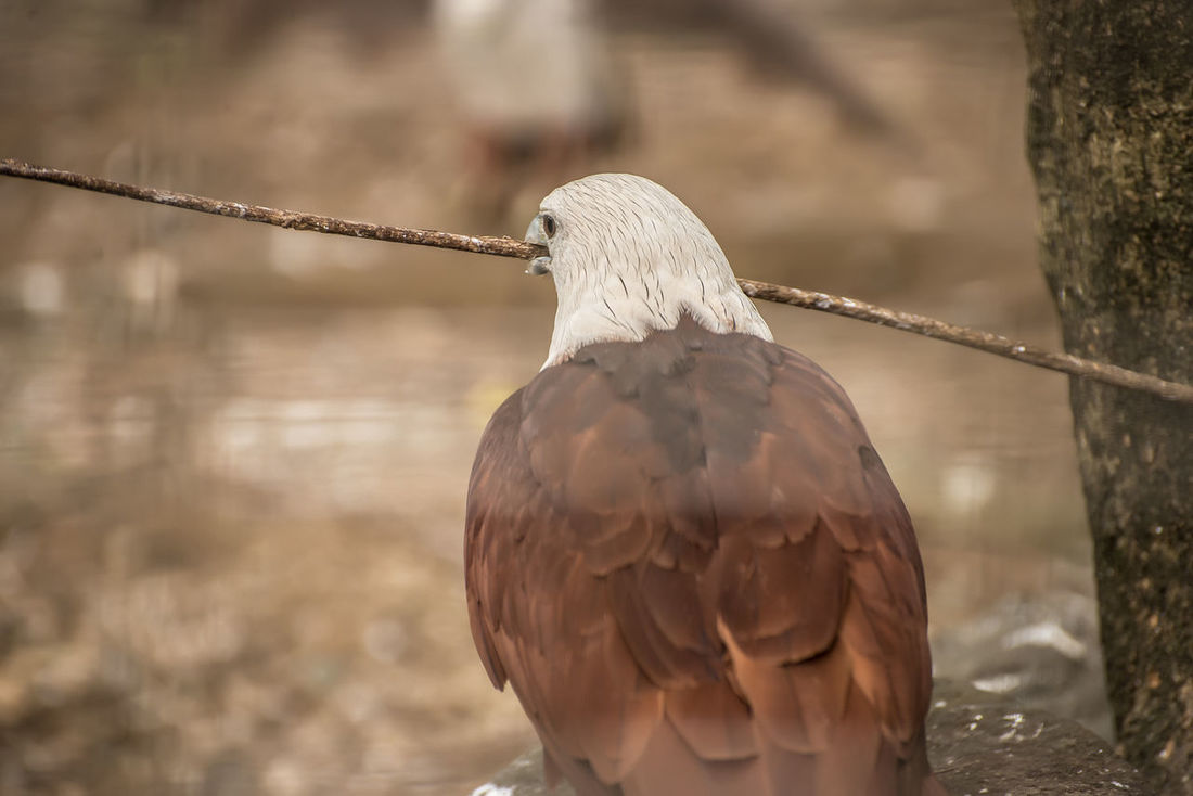 Animal Themes Animal Wildlife Animals In The Wild Beak Beauty In Nature Bird Close-up Day Eagle Eagle Portrait Eagles Eyeem Philippines Nature Nest Nesting No People One Animal Outdoors Perching Philippine Eagle Serpent Eagle White Bellied Eagle