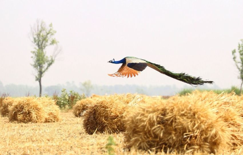 Animal Themes Animals In The Wild Bird Flying Mid-air Motion Nature One Animal Spread Wings