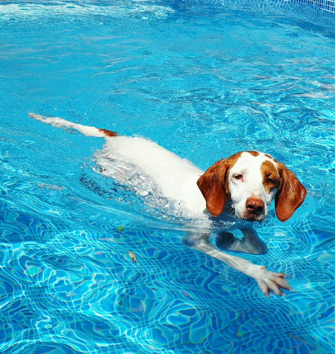 Beautiful stock photos of pool, Animal Themes, Blue, Day, Dog