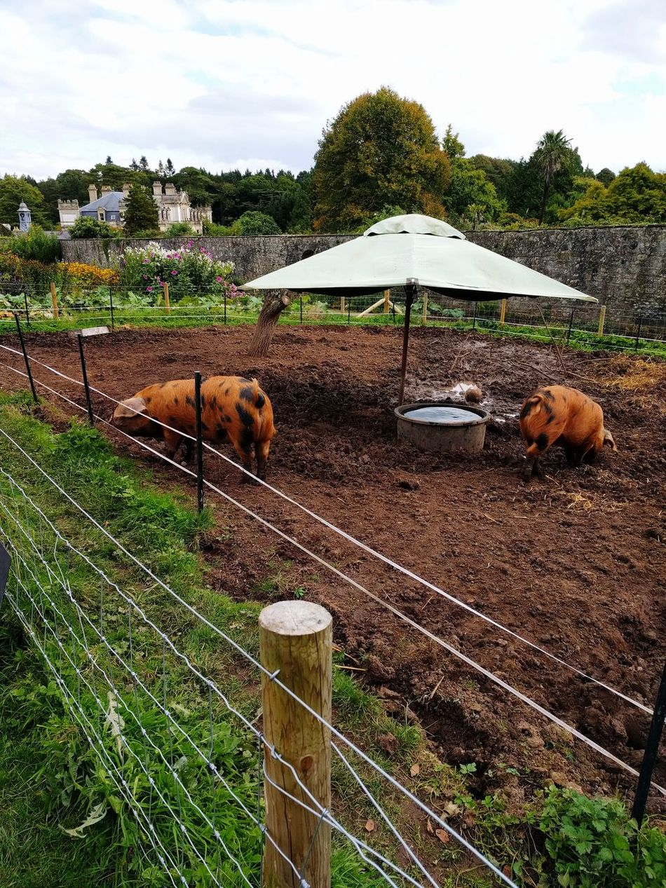Pigs in mud! Agriculture Animal Themes Outdoors Tree No People Built Structure Domestic Animals Sky Mammal Animal Themes Growth Agriculture Day Cloud - Sky Livestock Nature Outdoors Architecture
