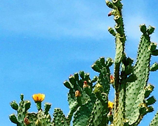 EyeEm Flower EyeEm Cactus Yellow Flowers Nature Desert Beauty Cactus Blue Sky DesertSky Loving Life!